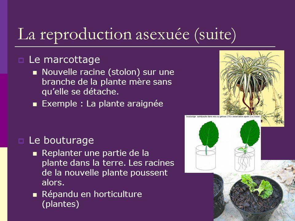 La reproduction asexuée (suite) Le marcottage Nouvelle racine (stolon) sur une branche de la plante mère sans quelle se détache. Exemple : La plante a