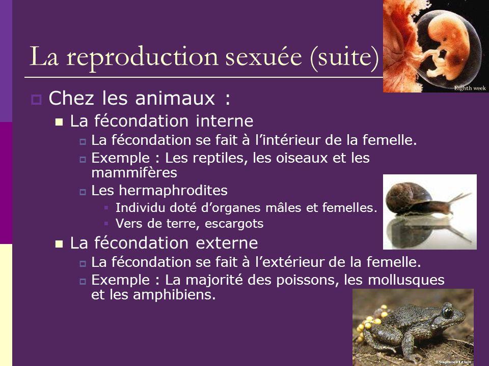 La reproduction sexuée (suite) Chez les animaux : La fécondation interne La fécondation se fait à lintérieur de la femelle. Exemple : Les reptiles, le