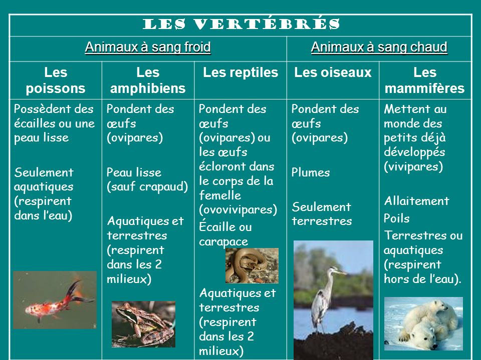 Les vertébrés Animaux à sang froid Animaux à sang chaud Les poissons Les amphibiens Les reptilesLes oiseauxLes mammifères Possèdent des écailles ou un