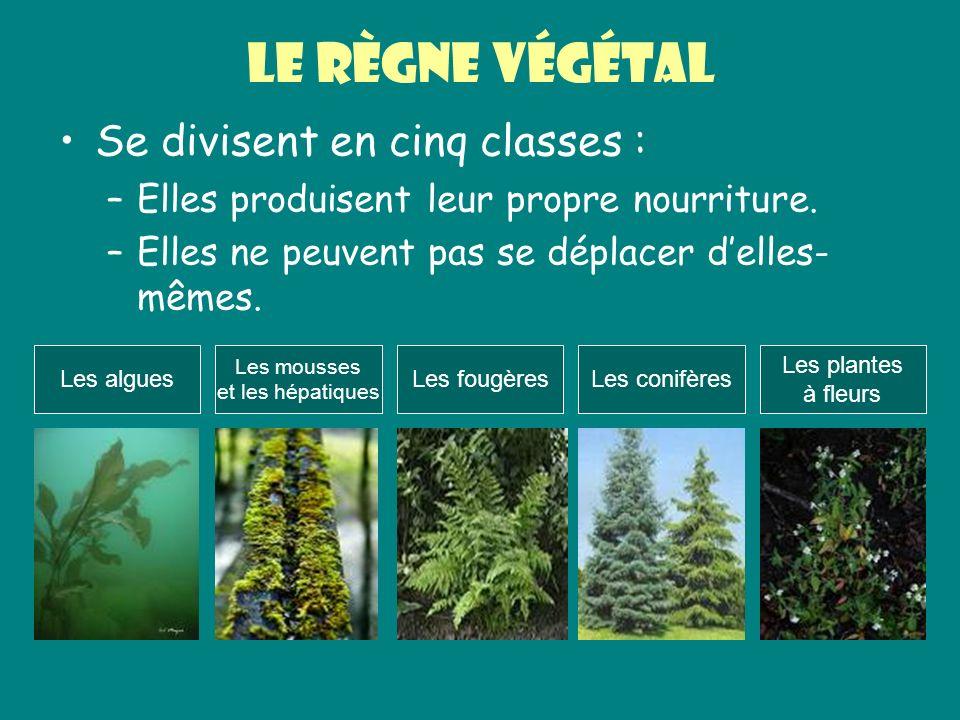 Le règne végétal Se divisent en cinq classes : –Elles produisent leur propre nourriture. –Elles ne peuvent pas se déplacer delles- mêmes. Les algues L