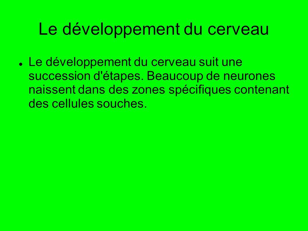 Le développement du cerveau Le développement du cerveau suit une succession d'étapes. Beaucoup de neurones naissent dans des zones spécifiques contena