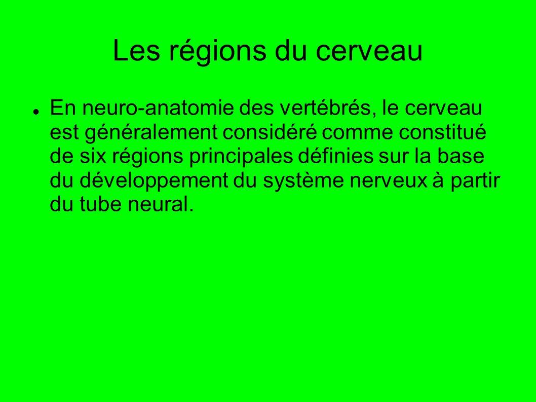 Les régions du cerveau En neuro-anatomie des vertébrés, le cerveau est généralement considéré comme constitué de six régions principales définies sur