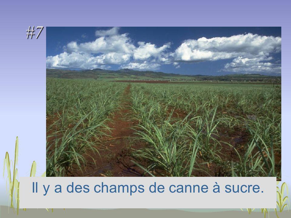 #7 Il y a des champs de canne à sucre.