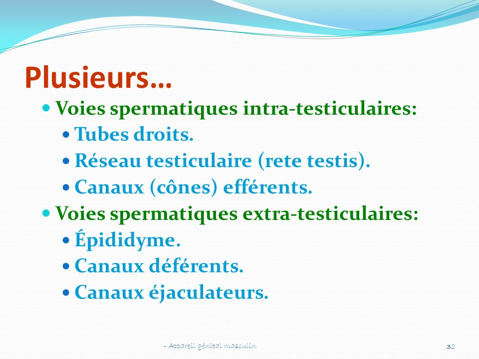 Plusieurs… Voies spermatiques intra-testiculaires: Tubes droits. Réseau testiculaire (rete testis). Canaux (cônes) efférents. Voies spermatiques extra