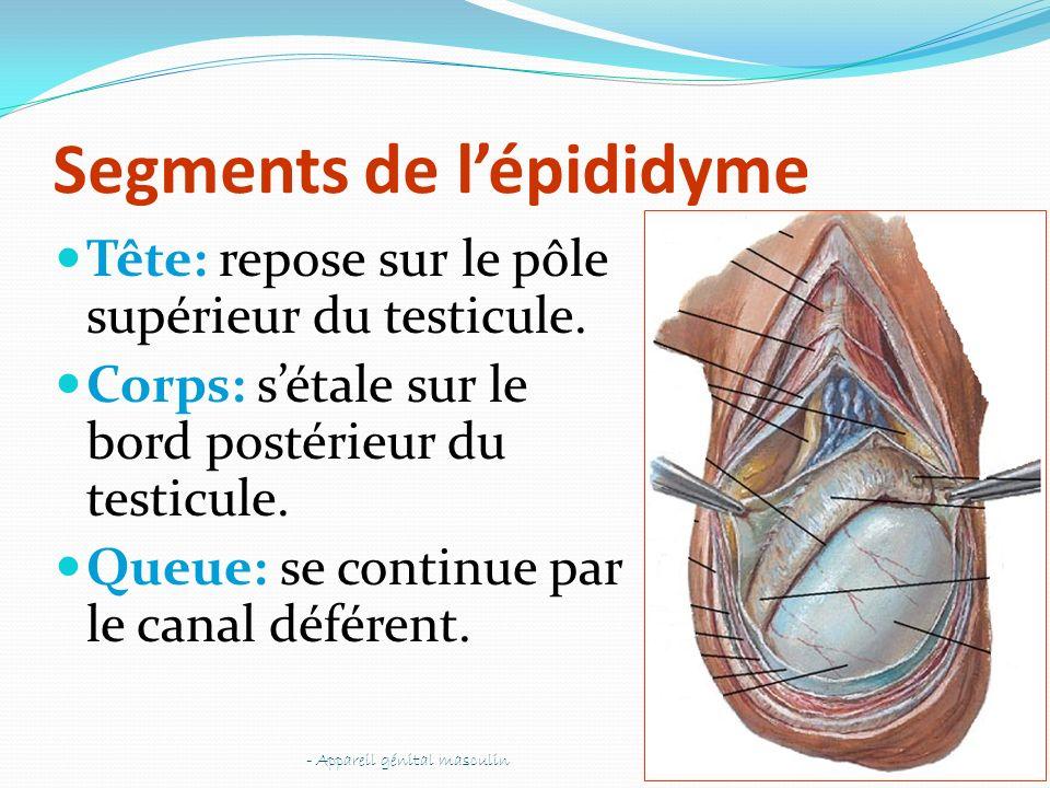 Segments de lépididyme Tête: repose sur le pôle supérieur du testicule. Corps: sétale sur le bord postérieur du testicule. Queue: se continue par le c