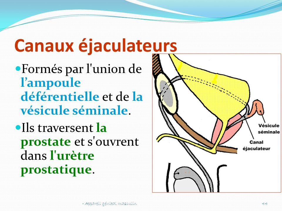 Canaux éjaculateurs Formés par l'union de lampoule déférentielle et de la vésicule séminale. Ils traversent la prostate et s'ouvrent dans l'urètre pro