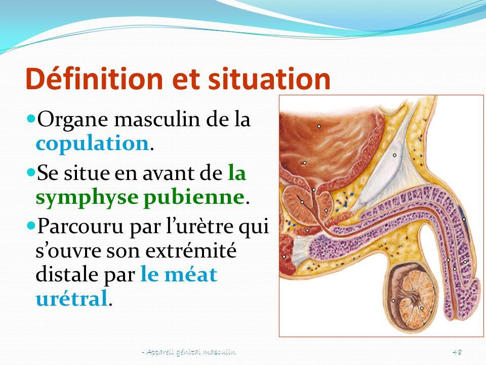 Définition et situation Organe masculin de la copulation. Se situe en avant de la symphyse pubienne. Parcouru par lurètre qui souvre son extrémité dis
