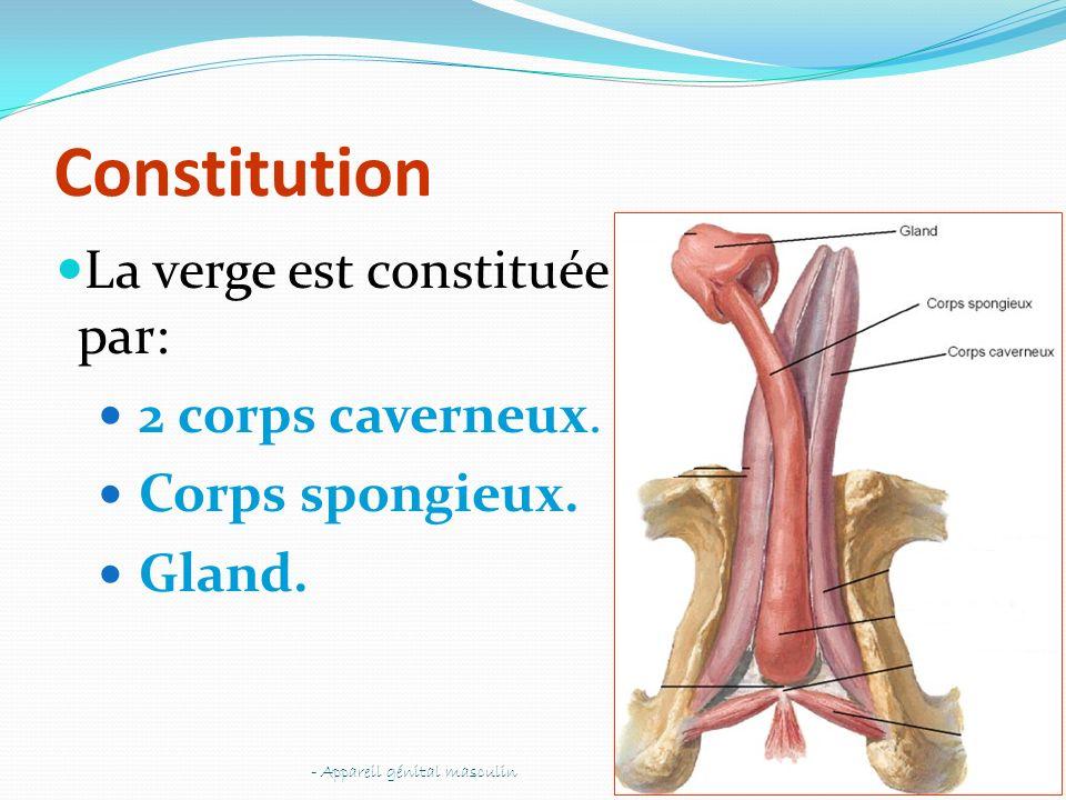 Constitution La verge est constituée par: 2 corps caverneux. Corps spongieux. Gland. - Appareil génital masculin54