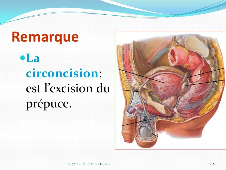 Remarque La circoncision: est lexcision du prépuce. - Appareil génital masculin63