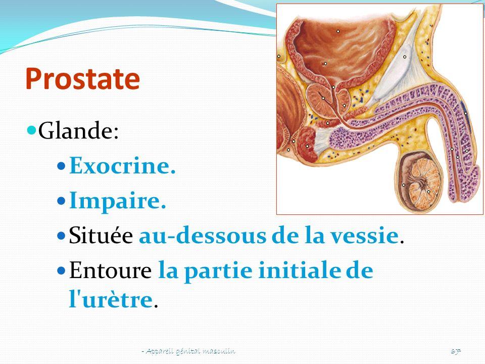 Prostate Glande: Exocrine. Impaire. Située au-dessous de la vessie. Entoure la partie initiale de l'urètre. - Appareil génital masculin67