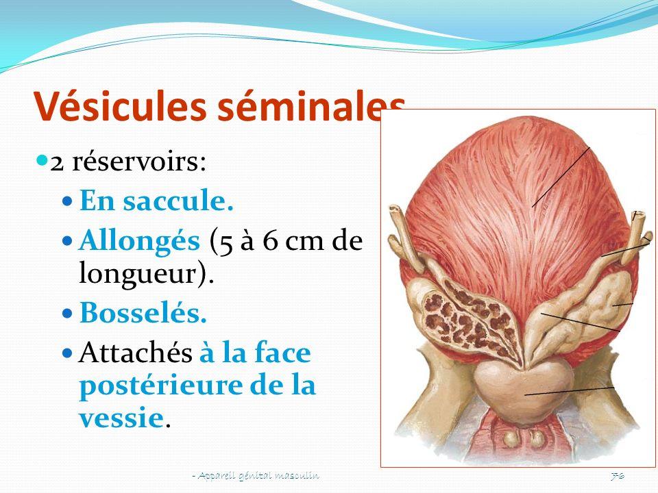Vésicules séminales 2 réservoirs: En saccule. Allongés (5 à 6 cm de longueur). Bosselés. Attachés à la face postérieure de la vessie. - Appareil génit