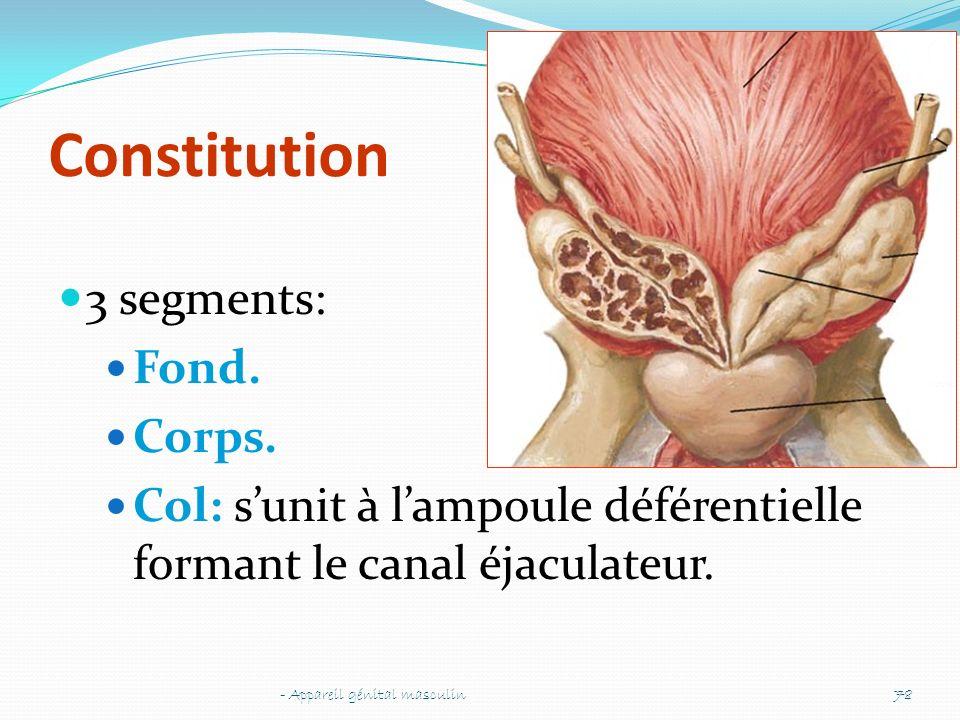 Constitution 3 segments: Fond. Corps. Col: sunit à lampoule déférentielle formant le canal éjaculateur. - Appareil génital masculin78