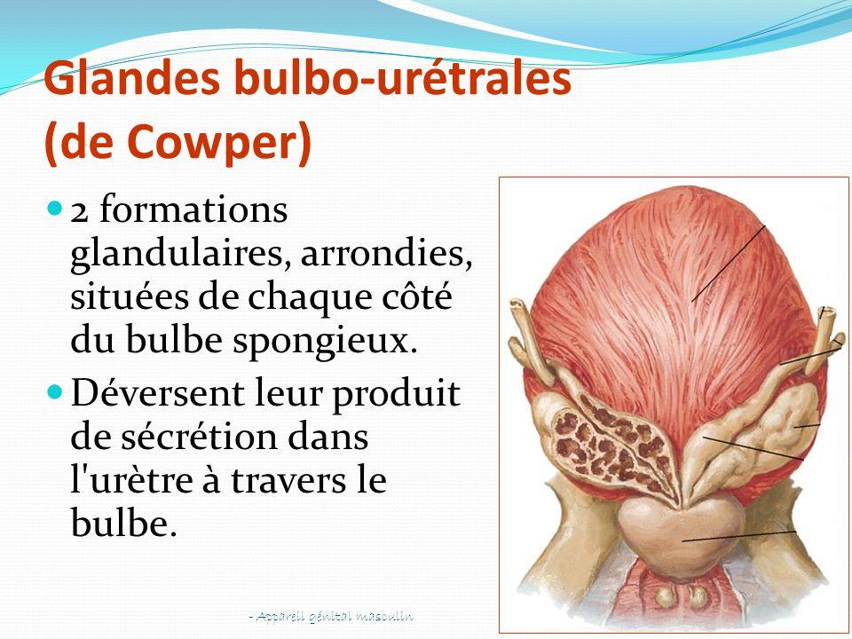 Glandes bulbo-urétrales (de Cowper) 2 formations glandulaires, arrondies, situées de chaque côté du bulbe spongieux. Déversent leur produit de sécréti