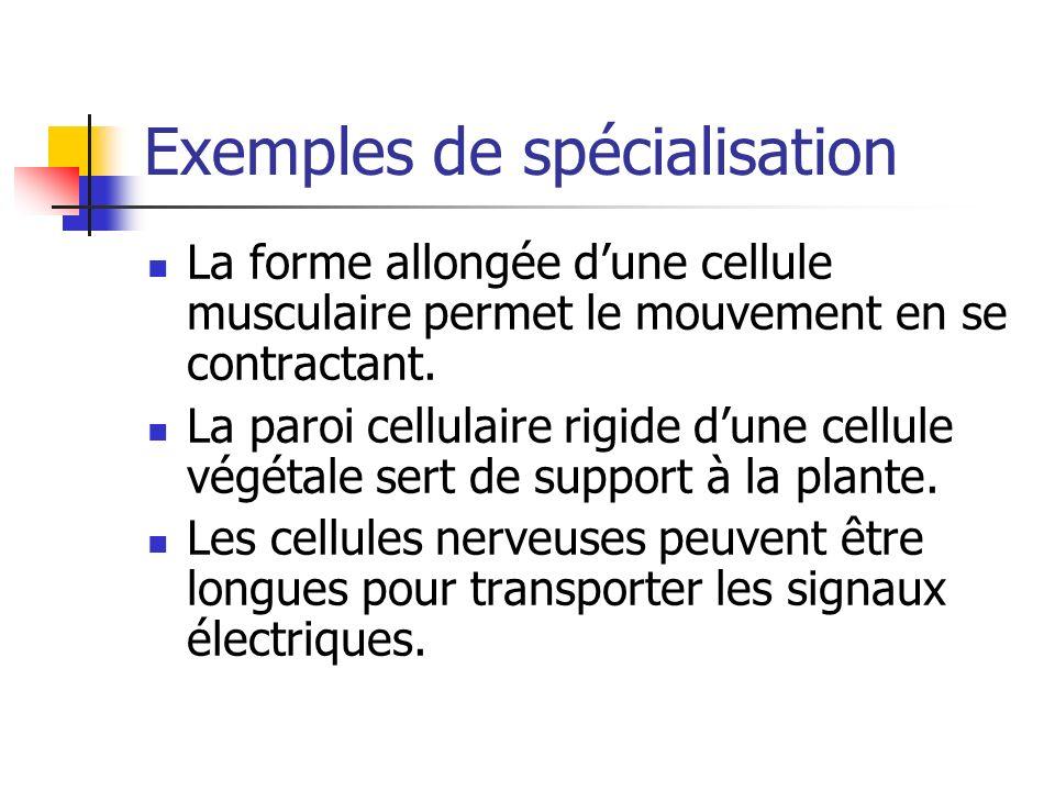 Exemples de spécialisation La forme allongée dune cellule musculaire permet le mouvement en se contractant. La paroi cellulaire rigide dune cellule vé