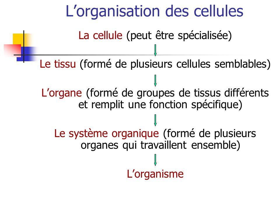 Lorganisation des cellules La cellule (peut être spécialisée) Le tissu (formé de plusieurs cellules semblables) Lorgane (formé de groupes de tissus di