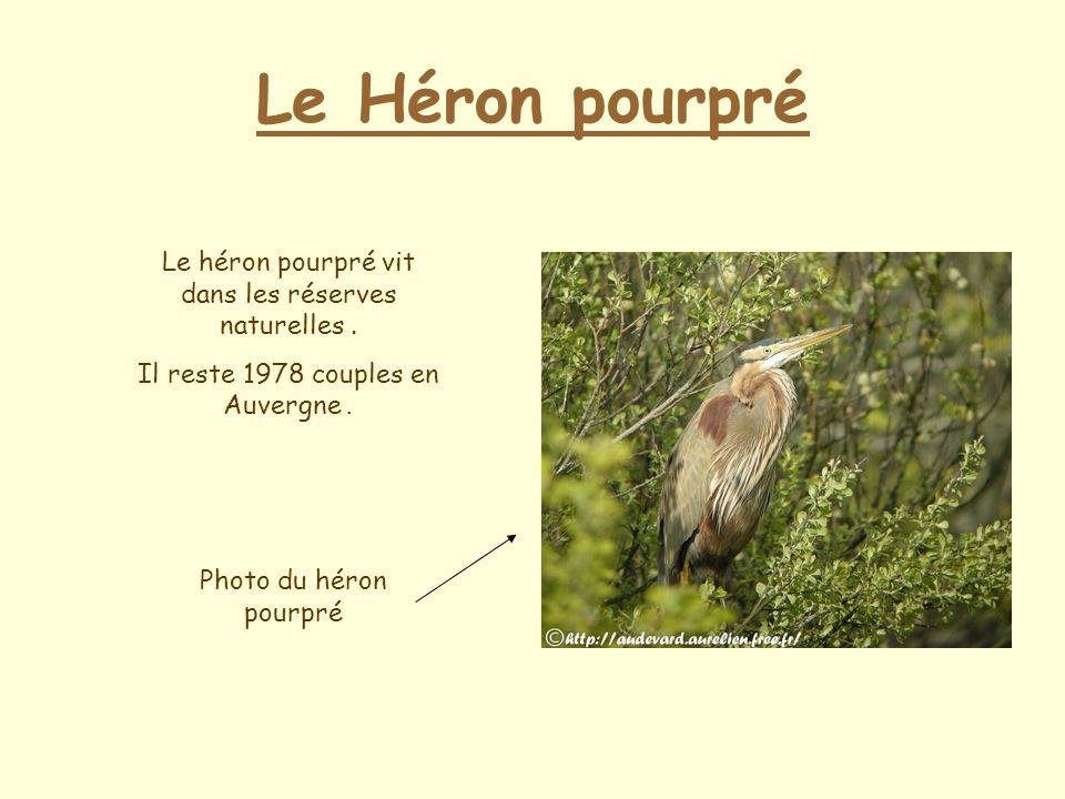 Le Héron pourpré Le héron pourpré vit dans les réserves naturelles.