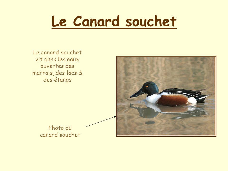 Le Canard souchet Le canard souchet vit dans les eaux ouvertes des marrais, des lacs & des étangs Photo du canard souchet