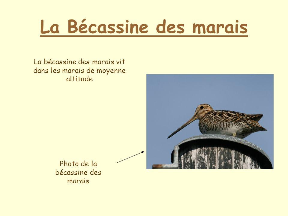 La Bécassine des marais La bécassine des marais vit dans les marais de moyenne altitude Photo de la bécassine des marais