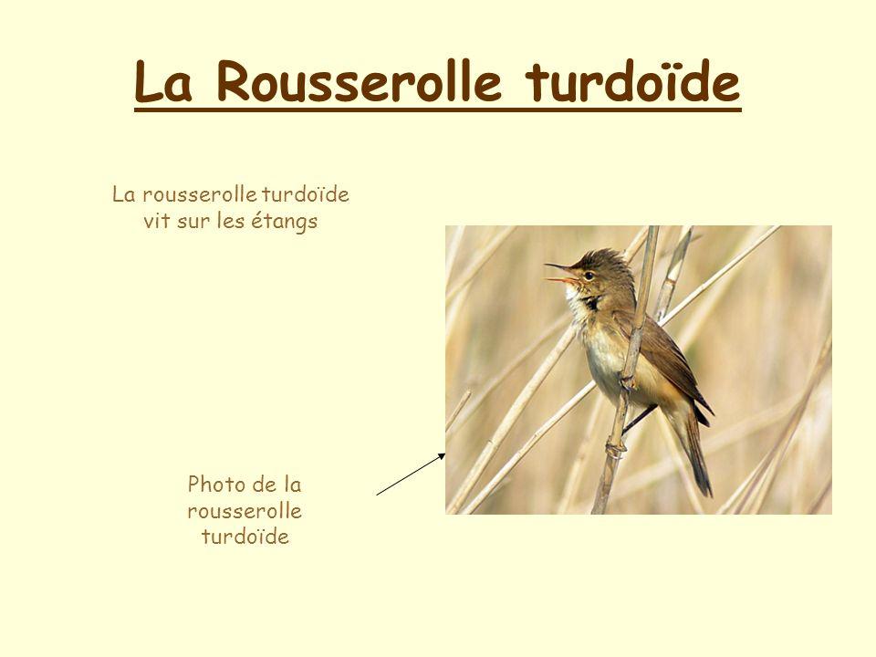 La Rousserolle turdoïde La rousserolle turdoïde vit sur les étangs Photo de la rousserolle turdoïde