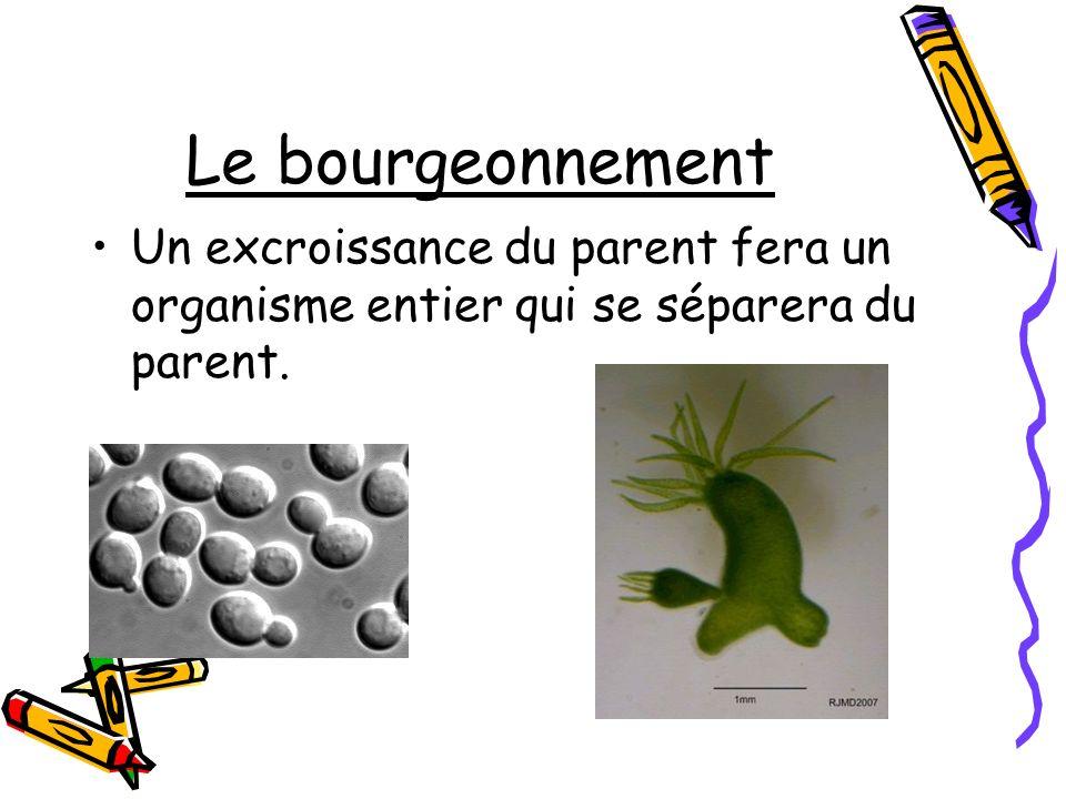 Le bourgeonnement Un excroissance du parent fera un organisme entier qui se séparera du parent.