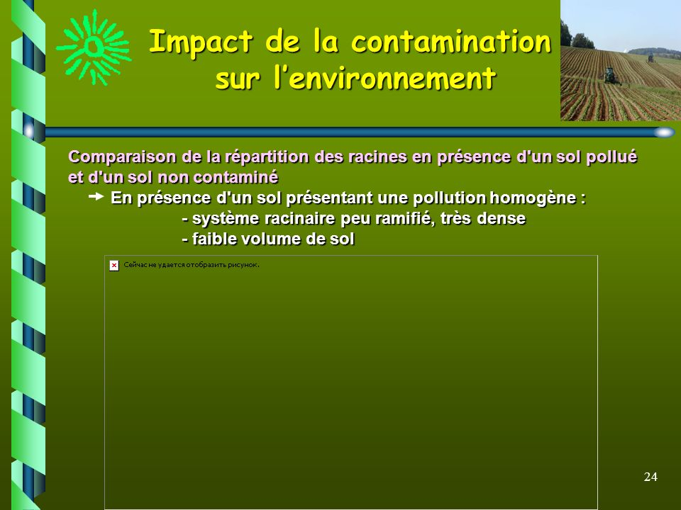 24 Comparaison de la répartition des racines en présence d'un sol pollué et d'un sol non contaminé En présence d'un sol présentant une pollution homog