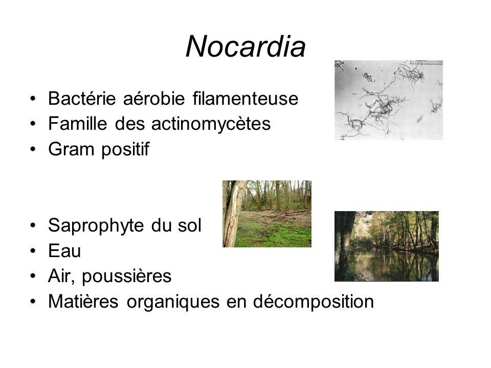 Nocardia Bactérie aérobie filamenteuse Famille des actinomycètes Gram positif Saprophyte du sol Eau Air, poussières Matières organiques en décompositi