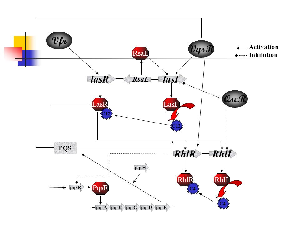 RhlR RhlI lasRlasI RsaL LasILasRRhlIRhlR C4C12C4C12 RsaL PQS Vfr QscR pqsApqsBpqsCpqsDpqsE pqsR PqsR pqsH VqsR Activation Inhibition