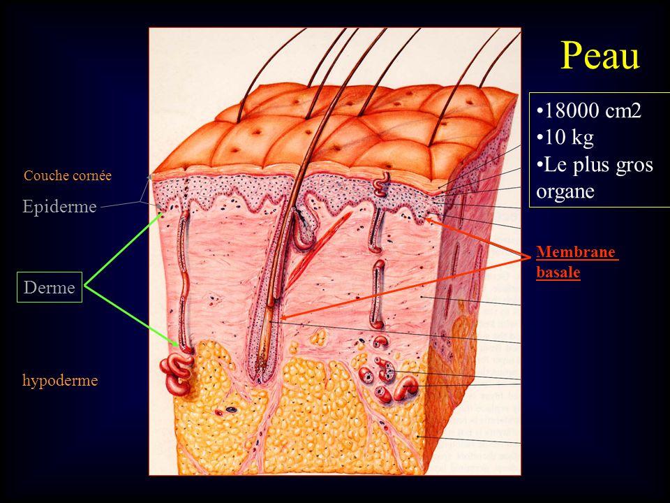 Couche cornée Epiderme Derme hypoderme Membrane basale Peau 18000 cm2 10 kg Le plus gros organe