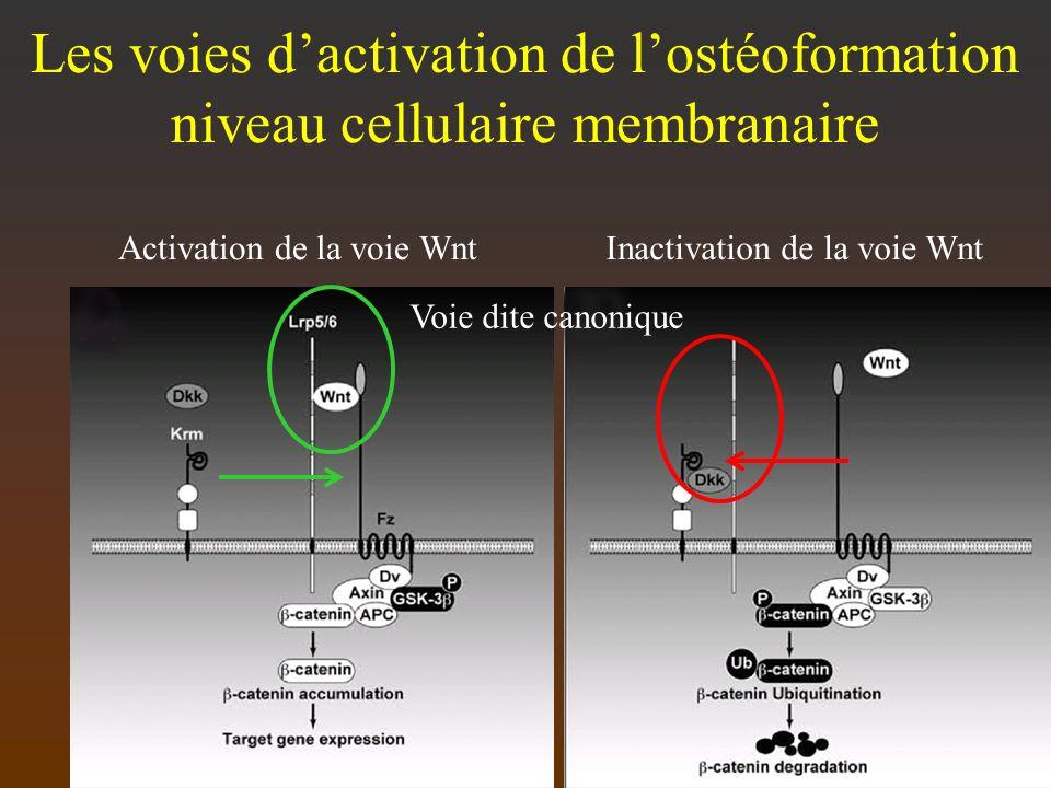 Les voies dactivation de lostéoformation niveau cellulaire membranaire Activation de la voie WntInactivation de la voie Wnt Voie dite canonique
