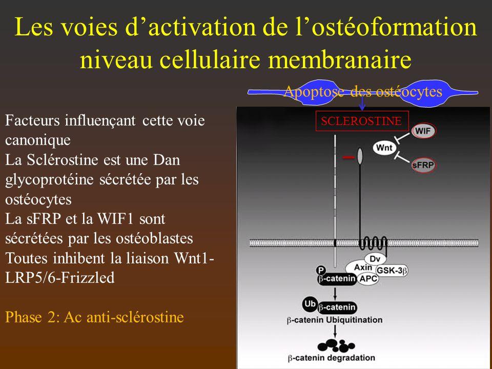 Les voies dactivation de lostéoformation niveau cellulaire membranaire Facteurs influençant cette voie canonique La Sclérostine est une Dan glycoproté