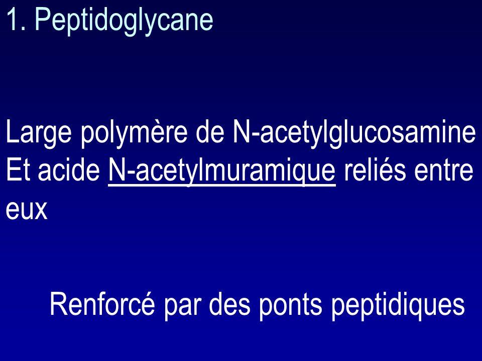 B. Paroi Donne la forme et la rigidité de la bactérie Empêche lexplosion de la bactérie Constitué par le peptidoglycane (murein) G-G+ peptidoglycane: