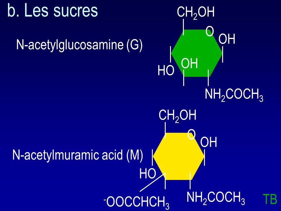 N-acetylmuramic acid Pont peptidique N-acetylglucosamine a. Structure générale lysozyme breaks the -1,4 bond