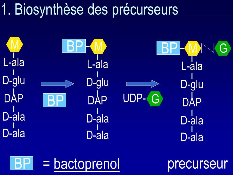 Biosynthèse du peptidoglycane 1. Synthèse des précurseurs 2. Autolysines 3. Bactoprenol 4. Formation de la paroi 5. Transpeptidation