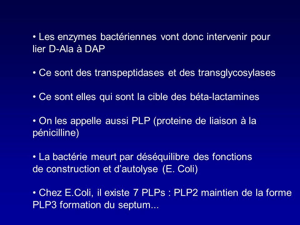 c. Les ponts peptidiques L-alanine D-alanine D-glutamic acid L- lysine or DAP L-alanine D-glutamic acid L- lysine or DAP D-alanine MGG G G M DAP = dia