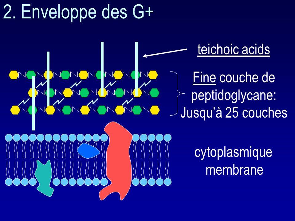 Interaction avec les PLP ( protéines liant la pénicilline ): nombre variable de PLP suivant les espèces. PLP : enzymes souvent fonctionnelles interven