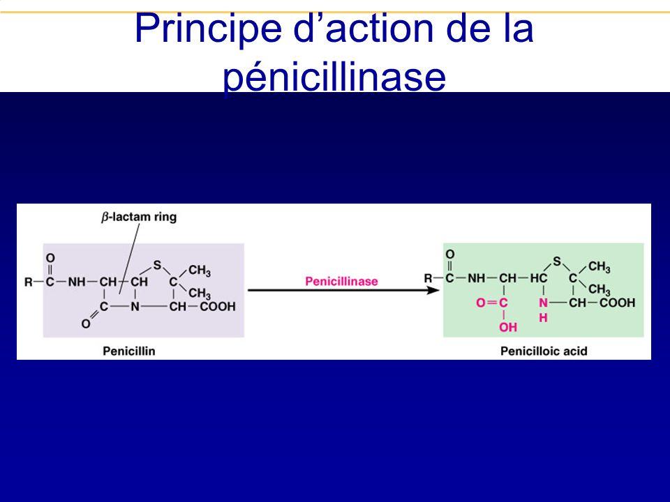 Inactivation enzymatique Pénicillinases et béta-lactamases La première est décrite en 1944 et concerne S. aureus En 1940, 100% des S. aureus étaient P