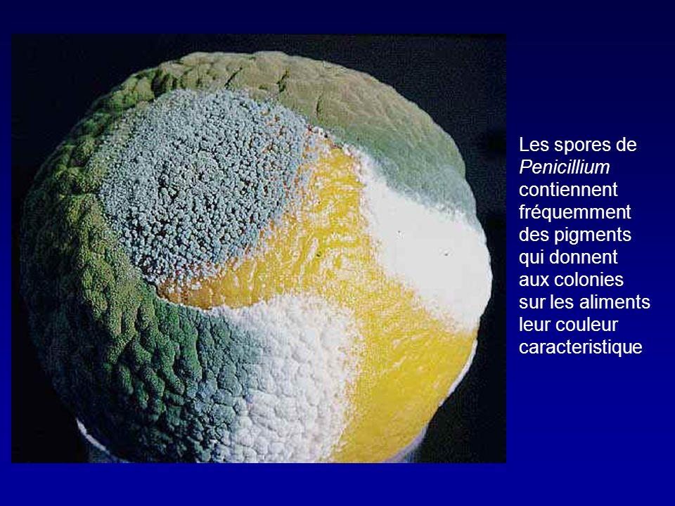 Peni G et Peni V obtenus par fermentation de Penicilinium chrysogenum Linterposition dun atome dO permet labsorbtion digestive Spectre: - Streptocoques - Staph non bétalactamases + - Listeria - Neisseria - Leptospires - Spirochètes - Anaérobies (sf Bacteroides) Penicillines naturelles (penicilline G, penicilline V)