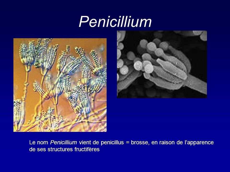 -Lactamines Effets indésirables Hypersensibilité – 3 to 10 % Incidence plus forte en cas de voie parentérale ou associée à la procaine Réactions modérées à sévères – rash jusquà lanaphylaxie et décès Anticorps produits contre les éléments de dégradation ou la pénicilline elle même Réaction croisée entre les pénicillines; 4% avec les autres -lactamines Désensibilisation possible
