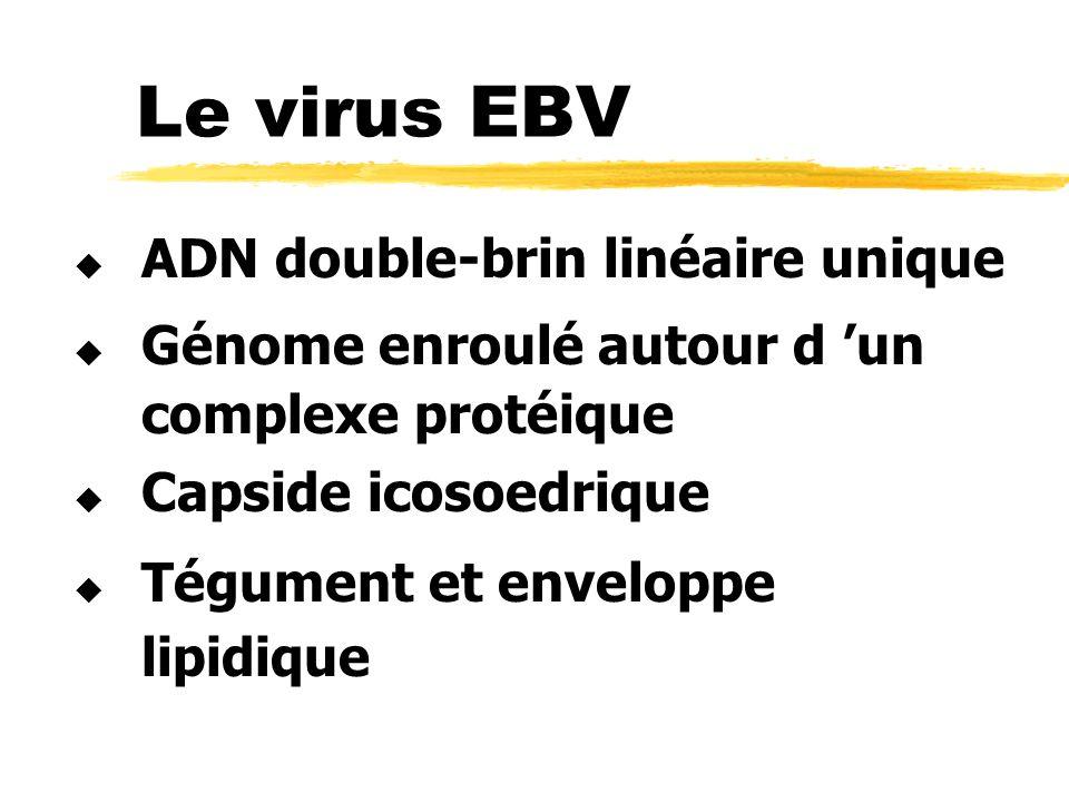 Le virus EBV ADN double-brin linéaire unique Génome enroulé autour d un complexe protéique Capside icosoedrique Tégument et enveloppe lipidique