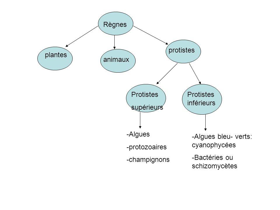 plantes animaux protistes Règnes Protistes supérieurs Protistes inférieurs -Algues -protozoaires -champignons -Algues bleu- verts: cyanophycées -Bactéries ou schizomycètes