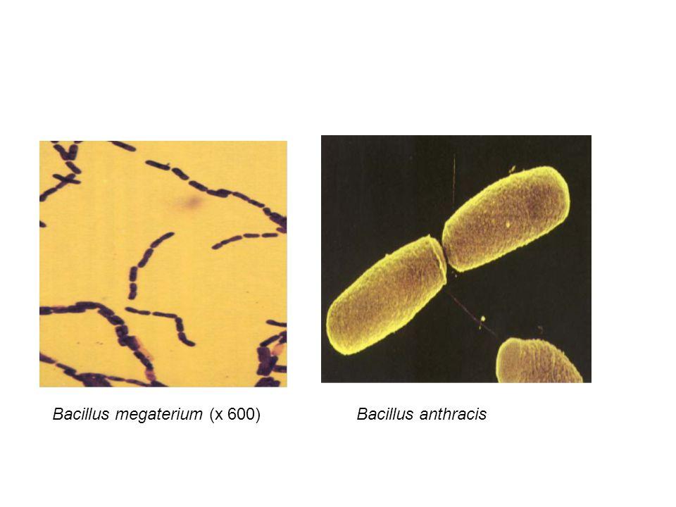 Bacillus megaterium (x 600)Bacillus anthracis