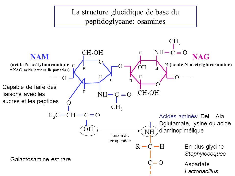 La structure glucidique de base du peptidoglycane: osamines = = CH 2 OH H3CH3CCH O OC CH 3 CO NH H H H H H H O H O H O OH H CH 2 OH O O NH C O CH 3 = OH H NAM (acide N-acétylmuramique = NAG+acide lactique lié par éther) NAG (acide N-acétylglucosamine) NH CH R = OC liaison du tétrapeptide Galactosamine est rare Acides aminés: Det L Ala, Dglutamate, lysine ou acide diaminopimélique En plus glycine Staphylocoques Aspartate Lactobacillus Capable de faire des liaisons avec les sucres et les peptides