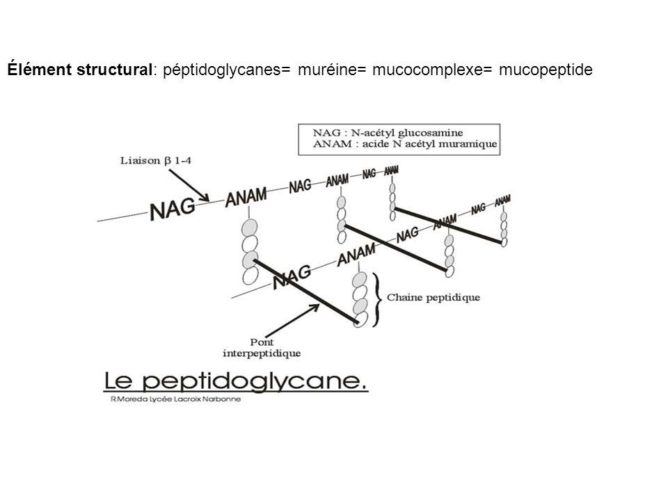 Élément structural: péptidoglycanes= muréine= mucocomplexe= mucopeptide