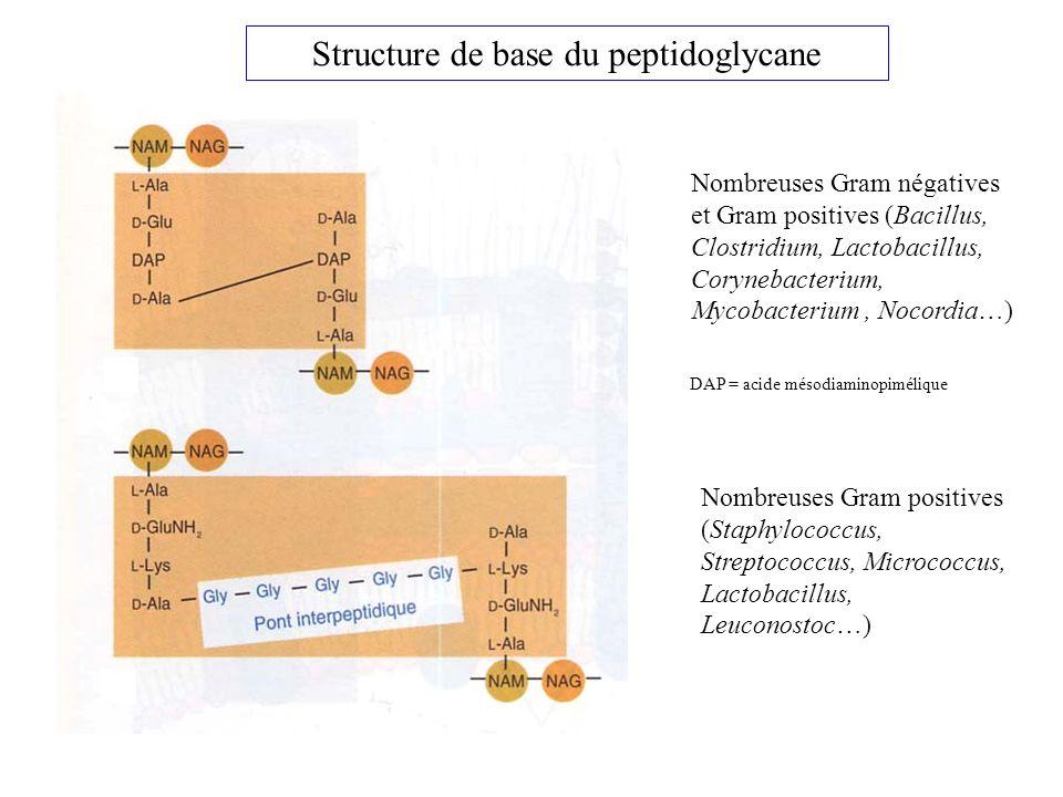 Nombreuses Gram négatives et Gram positives (Bacillus, Clostridium, Lactobacillus, Corynebacterium, Mycobacterium, Nocordia…) Nombreuses Gram positives (Staphylococcus, Streptococcus, Micrococcus, Lactobacillus, Leuconostoc…) Structure de base du peptidoglycane DAP = acide mésodiaminopimélique