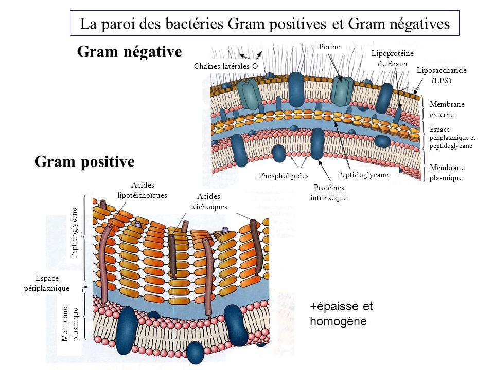 La paroi des bactéries Gram positives et Gram négatives Gram positive Gram négative Chaînes latérales O Porine Lipoprotéine de Braun Liposaccharide (LPS) Membrane externe Espace périplasmique et peptidoglycane Membrane plasmique Phospholipides Protéines intrinsèque Peptidoglycane Acides téichoïques Acides lipotéichoïques Peptidoglycane Membrane plasmique Espace périplasmique +épaisse et homogène