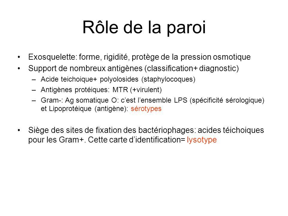 Rôle de la paroi Exosquelette: forme, rigidité, protège de la pression osmotique Support de nombreux antigènes (classification+ diagnostic) –Acide teichoique+ polyolosides (staphylocoques) –Antigènes protéiques: MTR (+virulent) –Gram-: Ag somatique O: cest lensemble LPS (spécificité sérologique) et Lipoprotéique (antigène): sérotypes Siège des sites de fixation des bactériophages: acides téichoiques pour les Gram+.