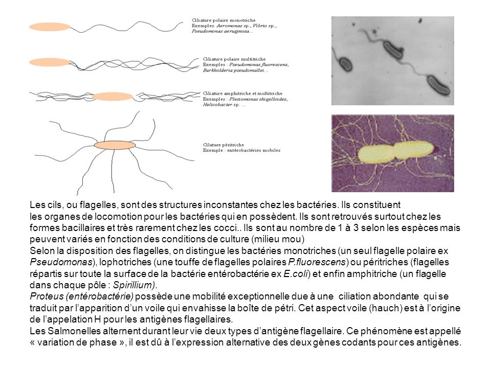 Les cils, ou flagelles, sont des structures inconstantes chez les bactéries.