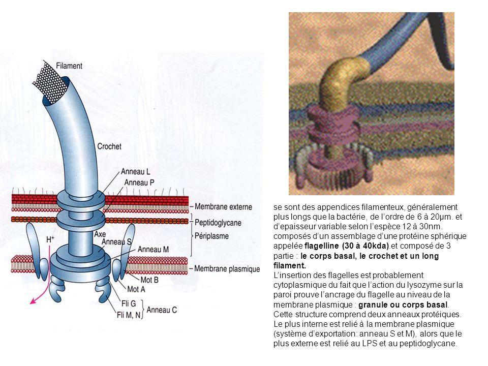 se sont des appendices filamenteux, généralement plus longs que la bactérie, de lordre de 6 à 20µm.
