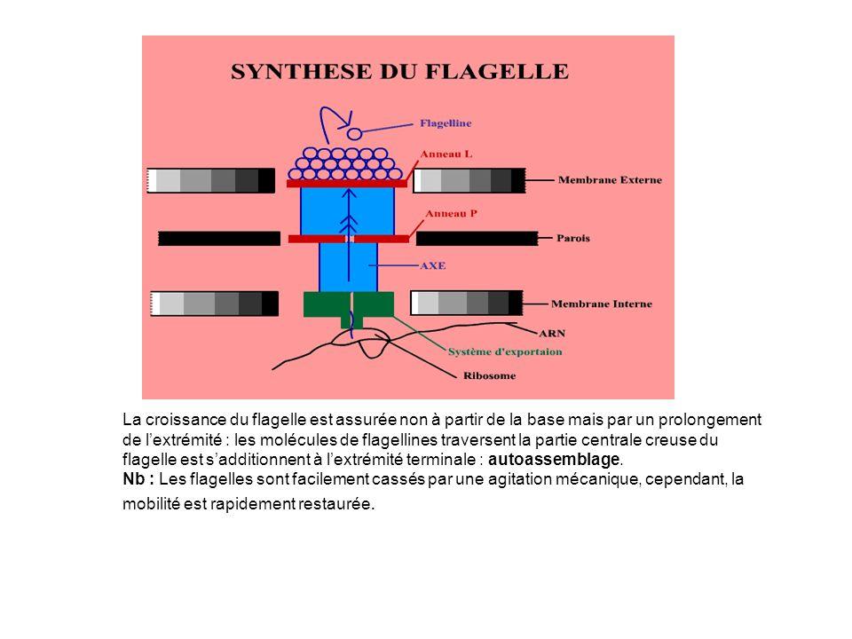 La croissance du flagelle est assurée non à partir de la base mais par un prolongement de lextrémité : les molécules de flagellines traversent la partie centrale creuse du flagelle est sadditionnent à lextrémité terminale : autoassemblage.