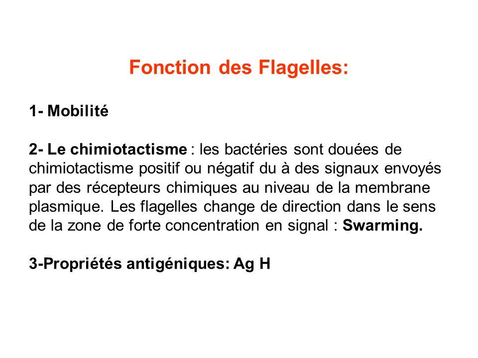 Fonction des Flagelles: 1- Mobilité 2- Le chimiotactisme : les bactéries sont douées de chimiotactisme positif ou négatif du à des signaux envoyés par des récepteurs chimiques au niveau de la membrane plasmique.